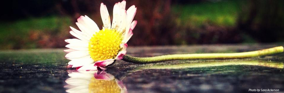Lone daisy laying on wet ground